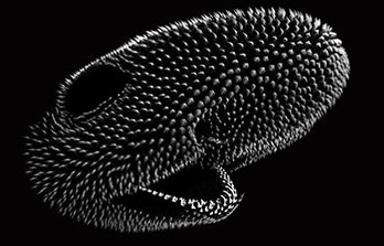 A CT scan of a small-spotted catshark hatchling's head shows its arrangement of denticles.