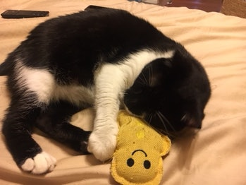 Miso cat