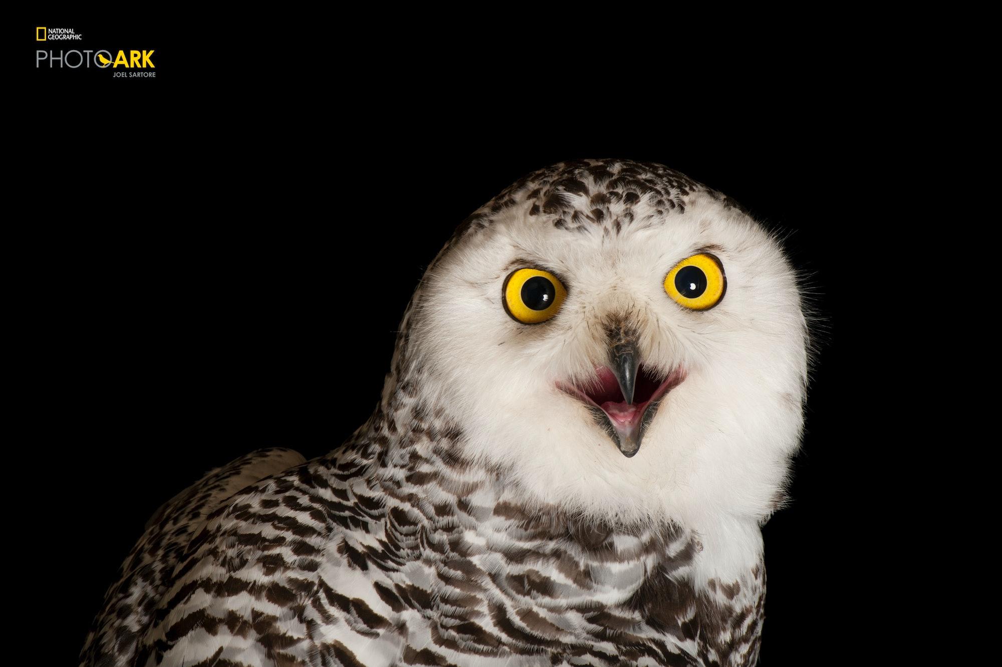 snowy owl the photo ark