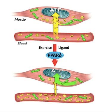 PPARd glucose and fatty acids