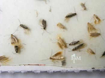 Clothes Moth - 2 Species