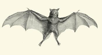 Bulldog bat illustration (vintage)