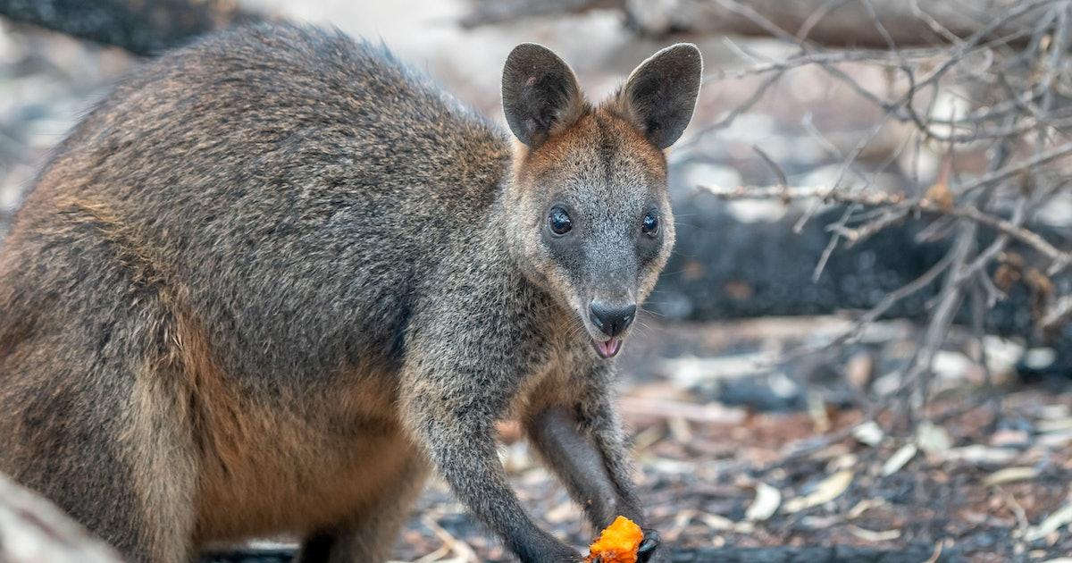 Operation Rock Wallaby: Photos show Australians 'food bombing' bush animals
