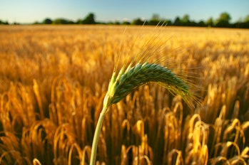 Climate change, barley harvests, and beer prices are all tied closely together.