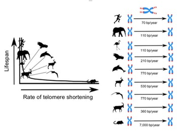 This study showed that the faster telomeres shortened, the shorter the animals lived.