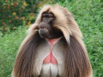 gelada, Old World monkey