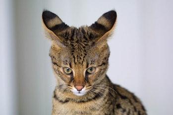 cat hybrid genetics savannah serval