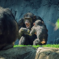 Chimp Cannibalism Extends to Babies in Gruesome Science Study