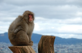 Japanesemacaque