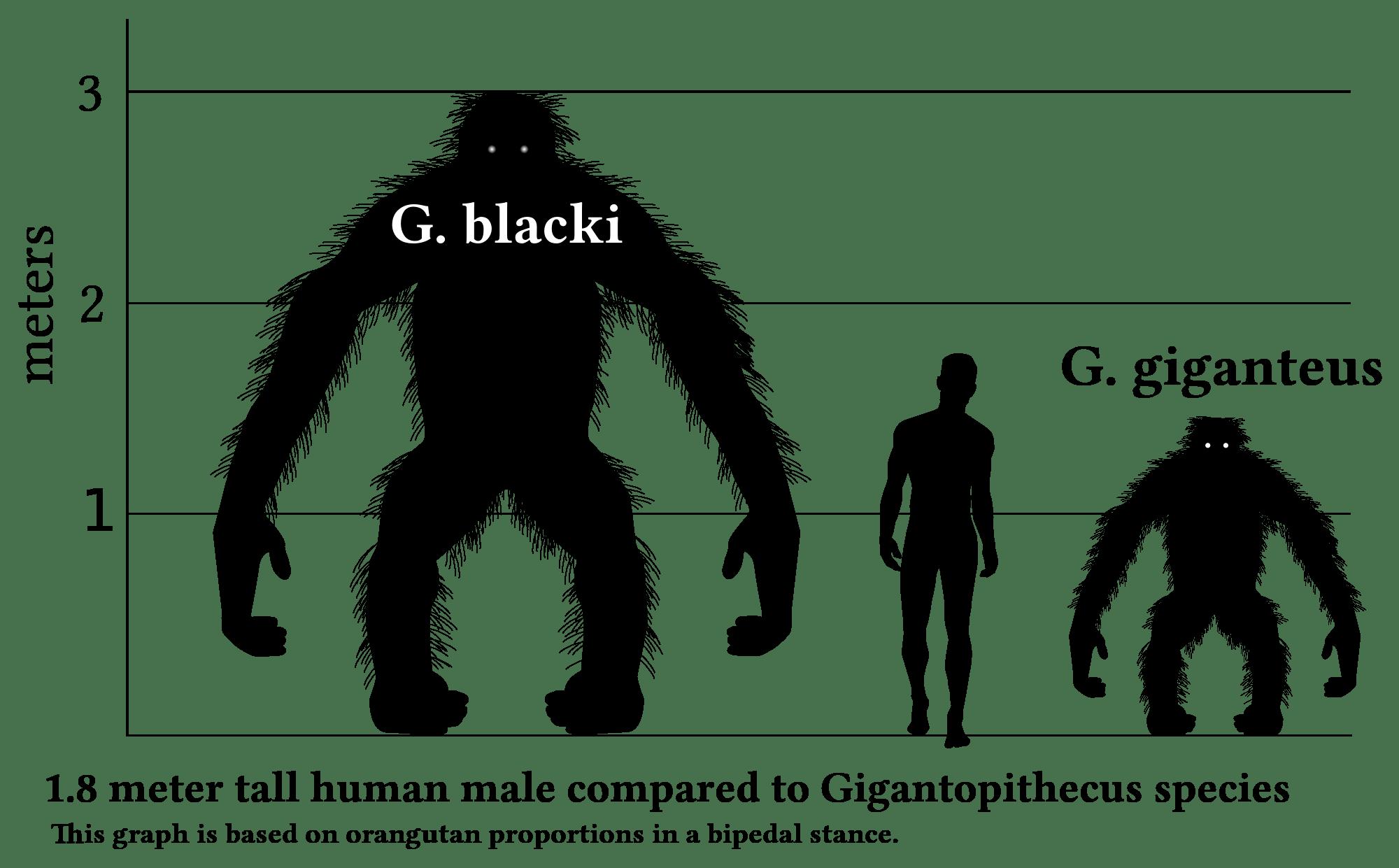 gigantopithecus blacki size weight height volume king kong human orangutan