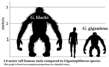 gigantopithecus blacki size weight height volume king kong human orangutan
