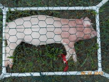 decomposing pigs