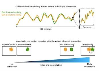 bat neural correlates