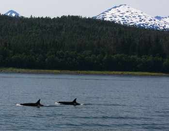 Pod of Killer Whales