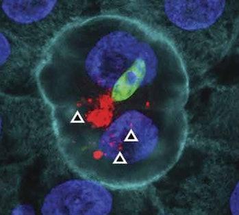 Hemocyte-derived microvesicles
