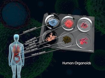 organoids