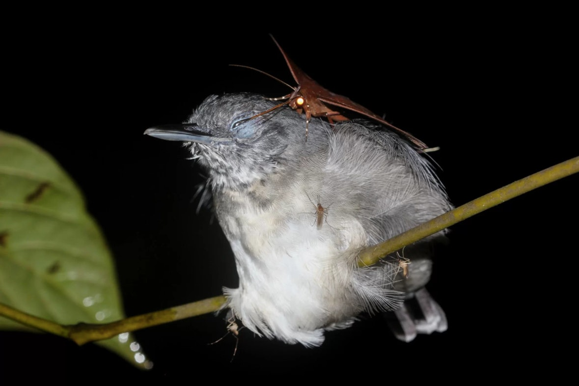 An erebid moth feeds on the sweet, sweet eye juices of a black-chinned antbird.