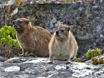 Rock hyrax aka Dassie (Procavia capensis)