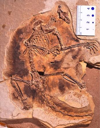 Maiopatagium furculiferum