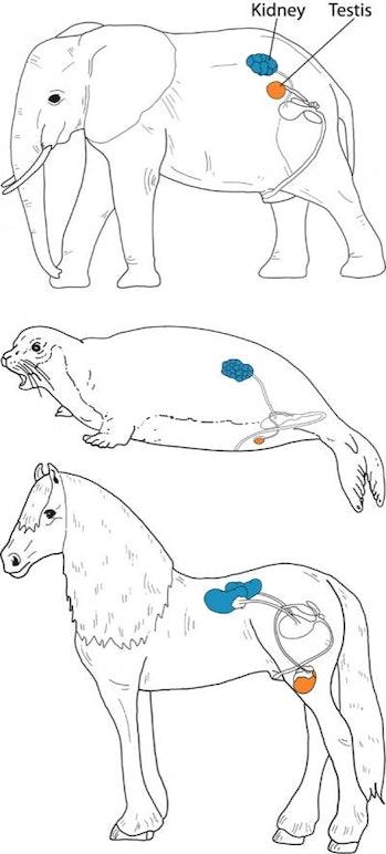 animal testicle location