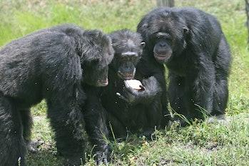 chimpanzees social