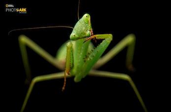 joel sartore the photo ark praying mantis