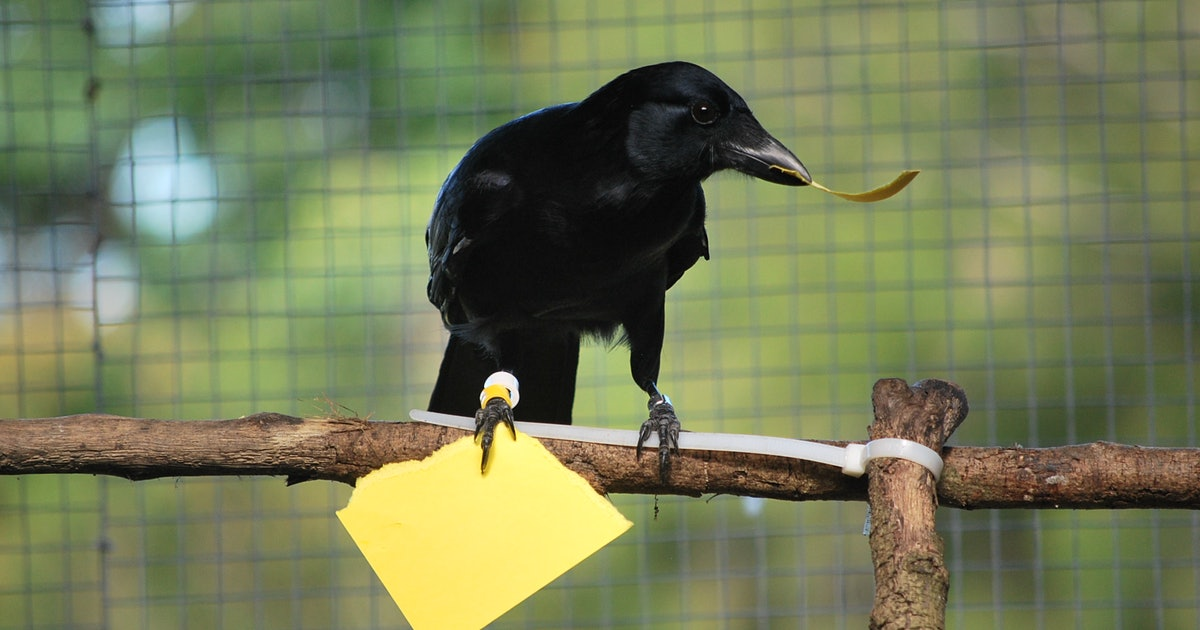 New Caledonian Crows Are Even Smarter and Scarier Than We Thought