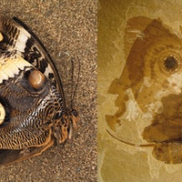 """""""Jurassic Butterfly:"""" Ancient Insect Shows Modern Qualities"""