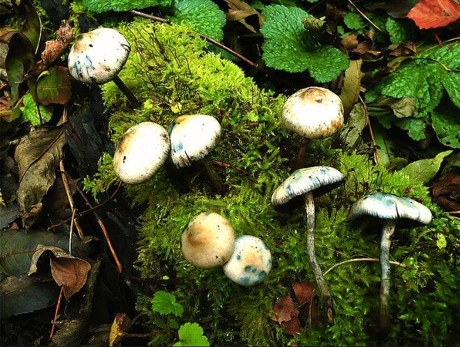 magic mushrooms, psilocybin