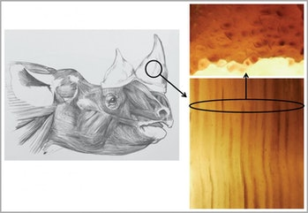 Researchers found that their artificial horns had remarkable similarity to real rhino horns in not only physical appearance but in mechanical and thermodynamic properties as well.