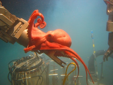 This stunning octopod, Benthoctopus sp., seemed quite interested in ALVIN's port manipulator arm. Those inside the sub were surprised by the octopod's inquisitive behavior. Image courtesy of Bruce Strickrott, Expedition to the Deep Slope. Image courtesy of Bruce Strickrott, Expedition to the Deep Slope.