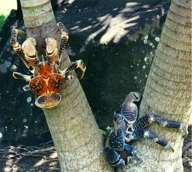 coconut crabs earhart