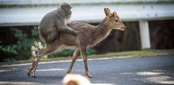 A Japanese macaque male and a sika deer.