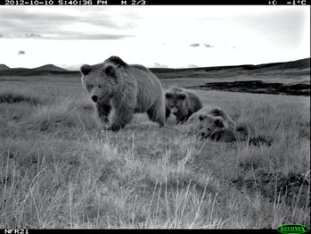 p.p1 {margin: 0.0px 0.0px 0.0px 0.0px; font: 11.0px 'Trebuchet MS'; -webkit-text-stroke: #000000} span.s1 {font-kerning: none}    Female with 2 cubs(3).jpg: A family of Himalayan brown bears, including a female and two cubs, from a camera trap study of wild bears in northern Pakistan. Credit: Norwegian University of Life Sciences and Snow Leopard Foundation.