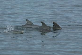 Bottlenose dolphins (Tursiops truncatus) in Florida's Indian River Lagoon.