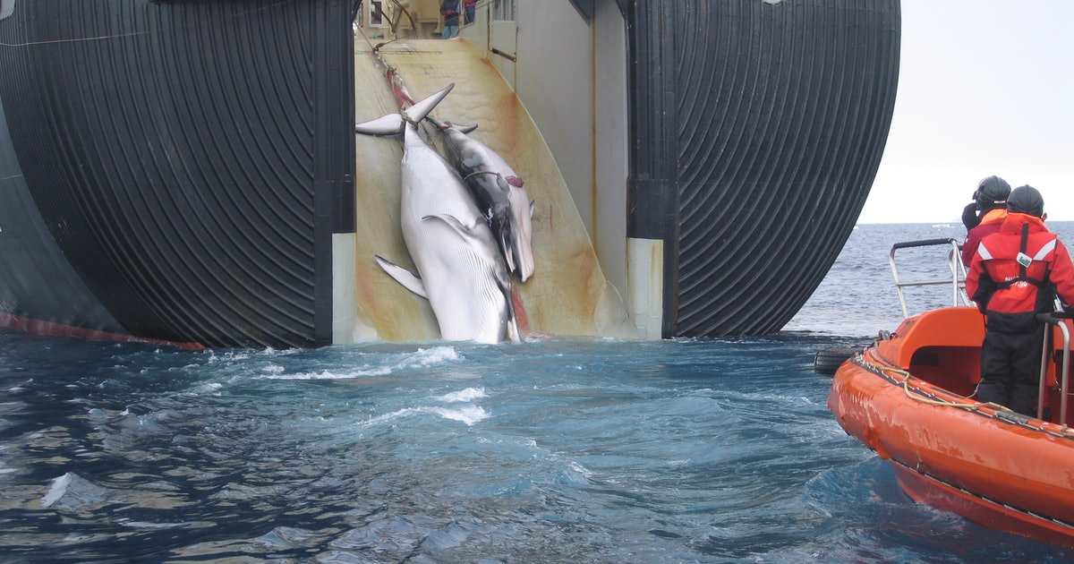 Japan Will Leave the International Whaling Commission, Resume Hunts in 2019