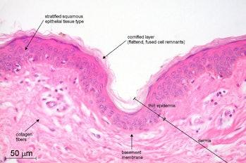 skin cells epidermis tattoo