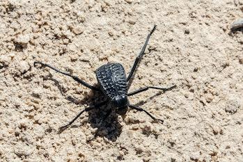 Namib Desert Darkling Beetle or Stenocara Gracilipes