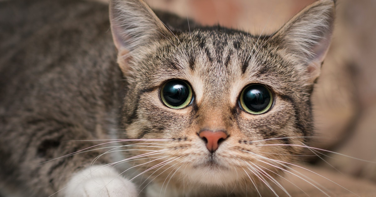 """Is it """"resting cat face"""" or is your pet in pain? 7 facial traits to know"""