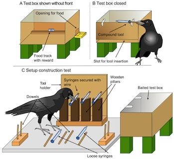 crow experiment
