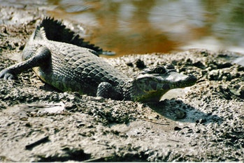 Caiman, crocodile