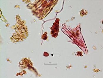 Sporormiella