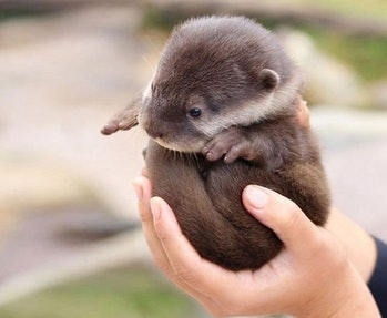 baby river otter