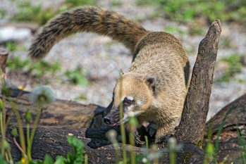Coati on a log