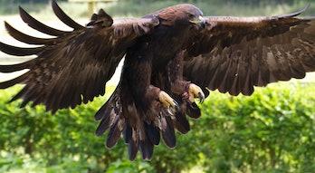 Golden Eagle 12a