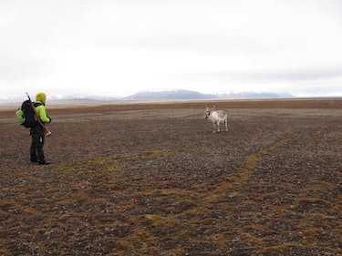 Reindeer and researcher on Svalbard