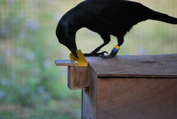 Researchers gave crows a piece of paper, which they ripped into the correct size to receive a reward.