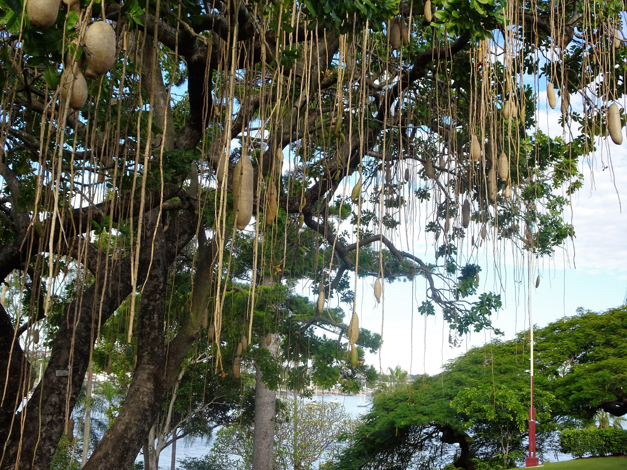 Brisbane. Sausage Tree in the gardens of Newstead House with the brisbane River in the background.  This unsual tropical tree is Kigelia africana.The sausage fruits can be two feet long. JPG