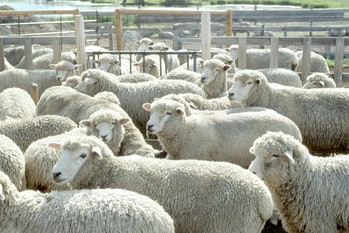 Livestock15.tif