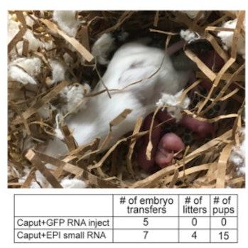 RNA sperm rats
